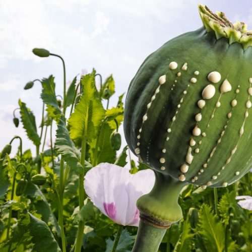 Opium production - latex flows from immature macadamia (Poppy seed - Papaver somniferum)